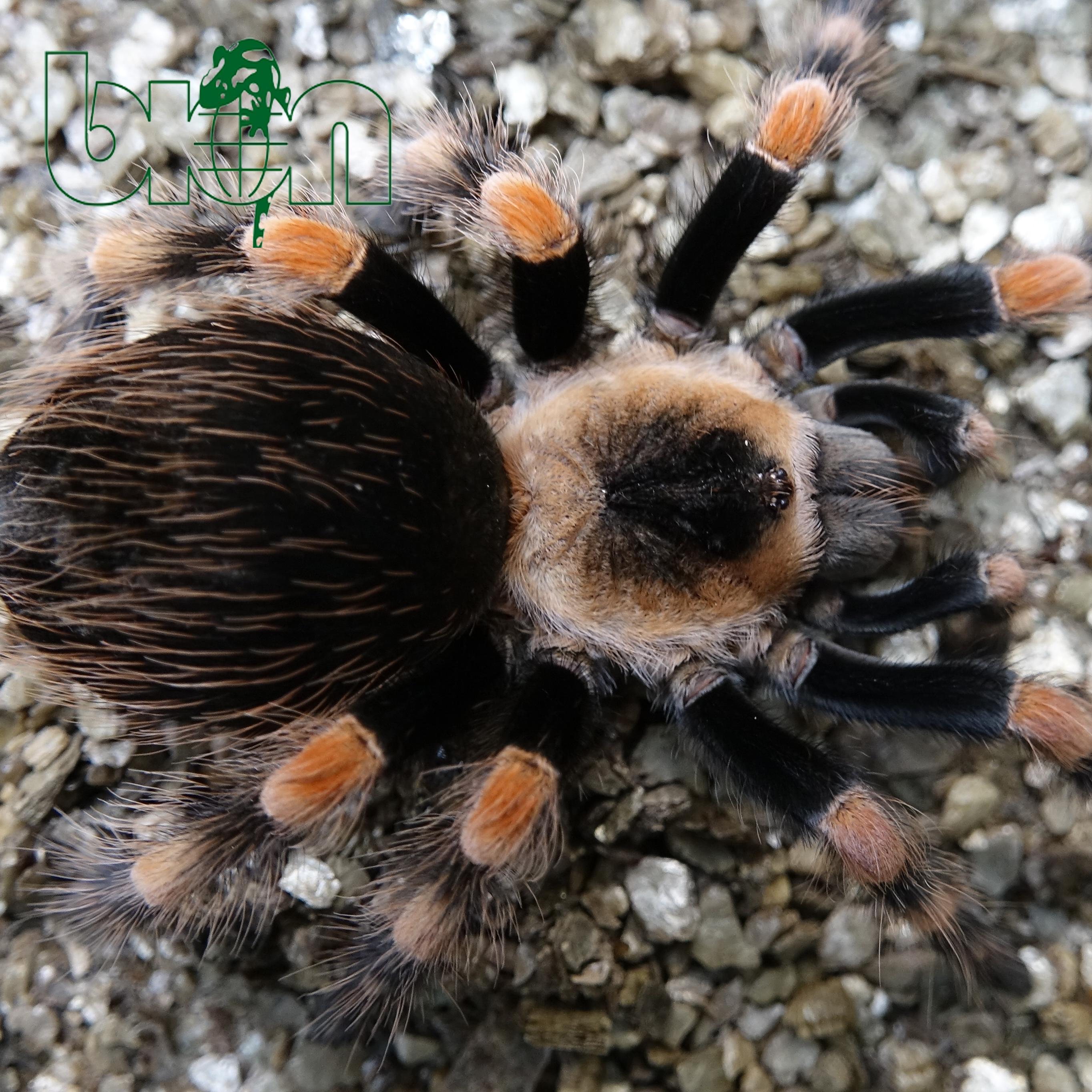 Brachypelma annitha (Brachypelma smithi)