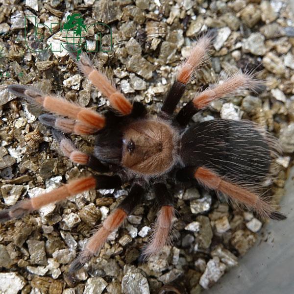 Mexican Fireleg Tarantula – Brachypelma boehmei
