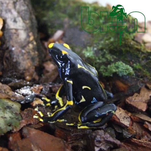 Dart frog – Dendrobates tinctorius ALANIS