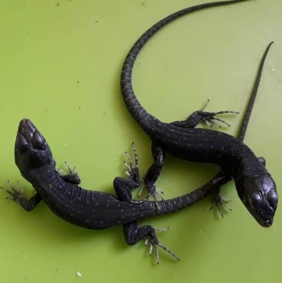 Jewelled lizard – Timon lepidus melanistic