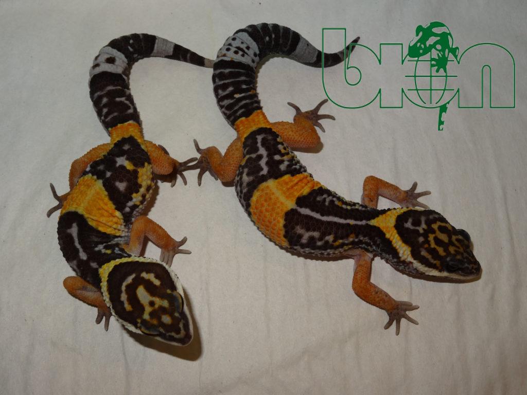 Eublepharis hardwickii twins