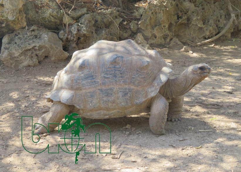 Aldabra giant tortoises for sale