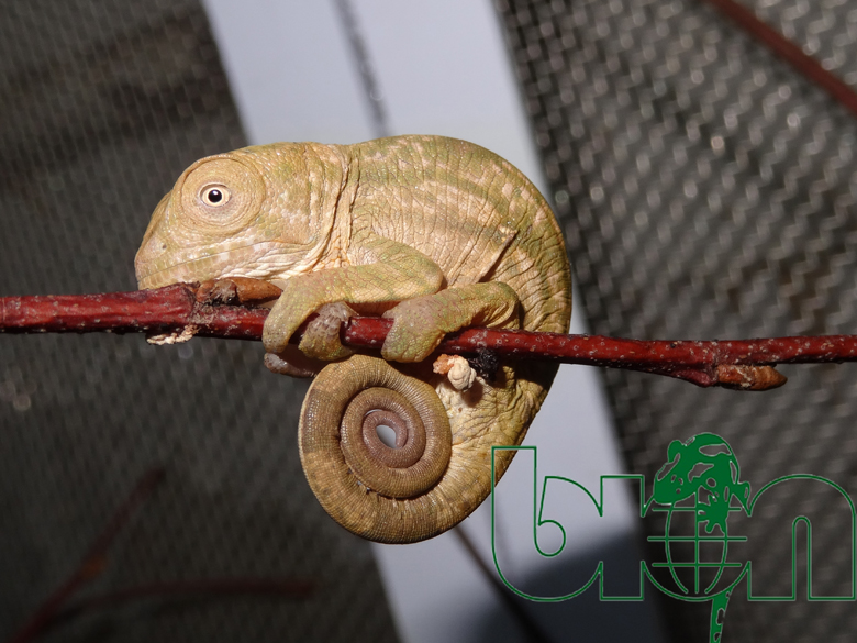 Parson's chameleons for sale