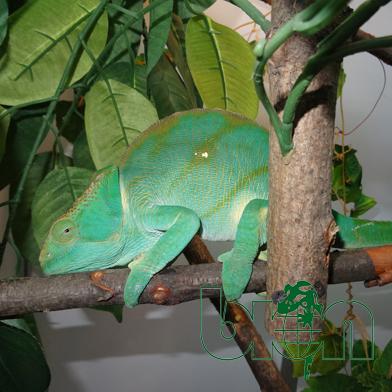 Parsons chameleon – Calumma parsonii Yellow lips
